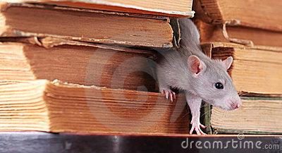 rat-de-bibliothc3a8que-6479754