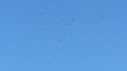 grazalema_vautour_fauve